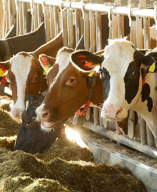 Gutes Futter für unsere Kühe